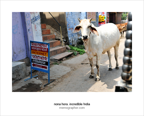 Holly Cow. Blue City, Jodhpur, Rajasthan, India.