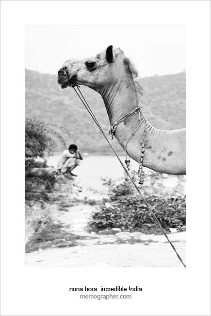 Parked Camel. Jaipur, Rajasthan, India