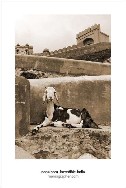 A Goat in Amber Fort. Rajasthan, India