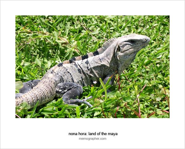 Iguana Reptile. Cancun, Mexico