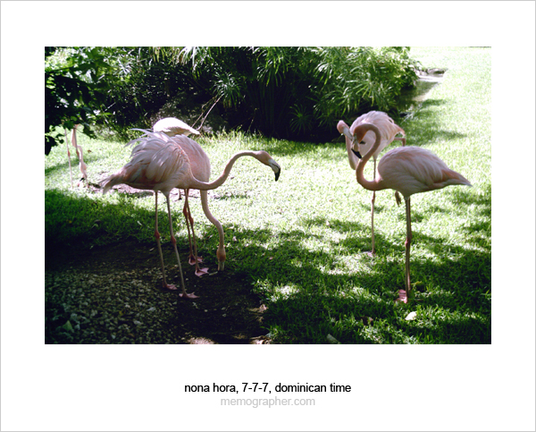 Pink Flamingo. Dominican Republic
