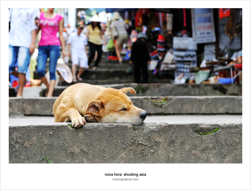 Vietnamese Dog sleeping on the street in Sapa Vietnam