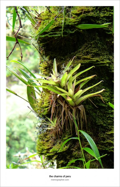 The tree covered with epiphytes, plants that grow upon a tree. Inca Trail, Peru