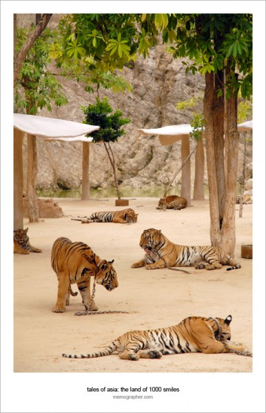 Tiger Temple: All-inclusive Resort for Tigers