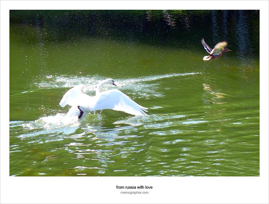 Swan chasing a duck at Minsk Botanical Garden